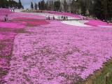 芝桜 フリー画像