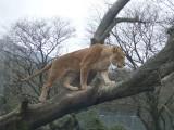 ライオン フリー画像