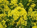 菜の花 フリー画像
