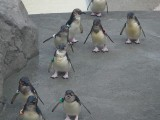 ペンギン フリー画像