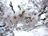 桜 フリー画像